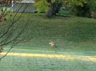 Coyote2_101719.jpg