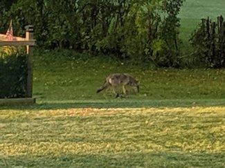 Coyote3_101719.jpg